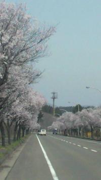 桜の並木道・・・春爛漫