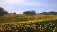 黄色い大河・・・水仙祭り