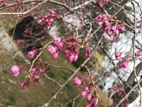 緑水亭の桜いよいよです!