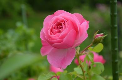 バラも咲いていますよ。