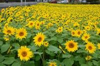 秋保の秋の向日葵畑