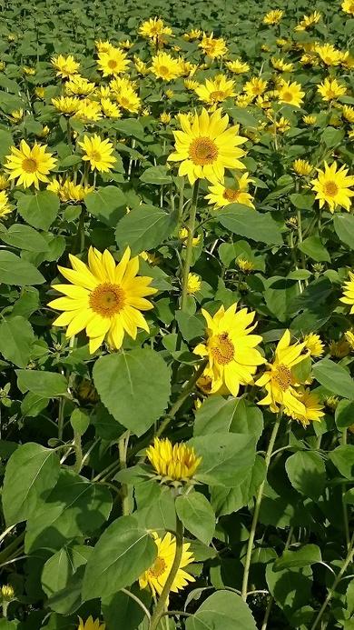 秋保・遅咲きの向日葵が今週末満開です!