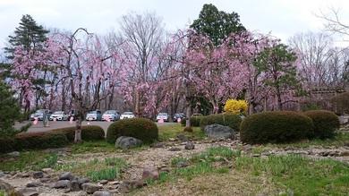 明日桜を見にいらしてください