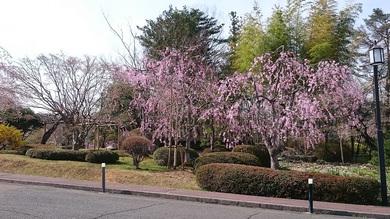 桜を皆様に