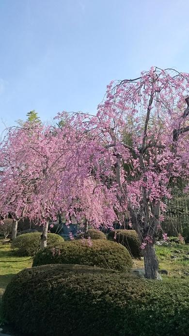 今週末は桜が最高の見頃です!