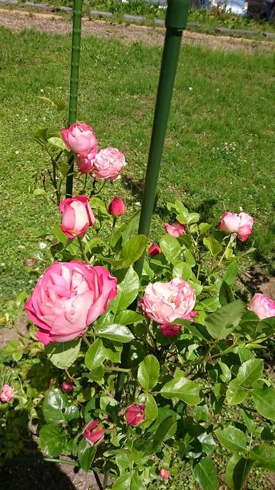 今年もバラが咲きだしました!