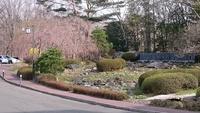 緑水亭の桜はこれからですよ 2017/04/16 16:42:10