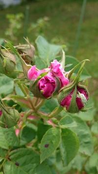 バラも咲いていますよ。 2017/05/31 11:39:47
