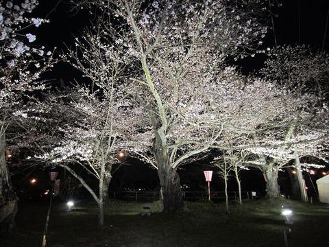 【おおがわら桜まつり】・【しばた桜まつり】が開催されています