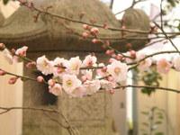 梅の開花が発表されました。