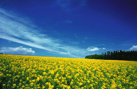 【大崎市三本木菜の花まつり】が開催されています