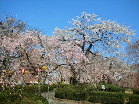 仙台の桜、満開宣言