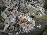 ぶらりと花見に・・・洞雲寺
