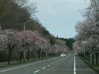 桜並木に・・・春