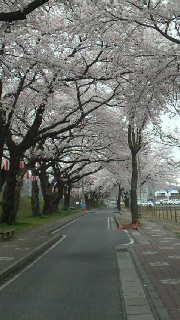 鯉のぼりと桜並木・・・磐井川