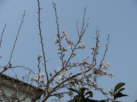 記念樹の桜