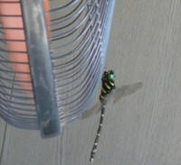 扇風機とオニヤンマ