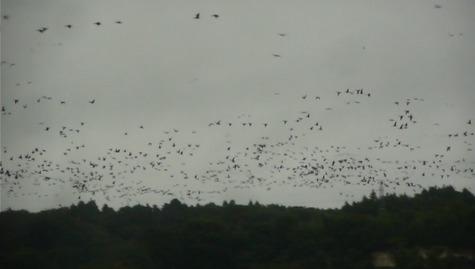 伊豆沼と雁の群れ