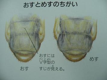 カブトの幼虫
