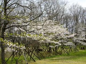 緑水亭桜はこれからですよ!