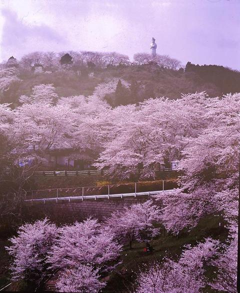 【しばた桜まつり】が開催されています
