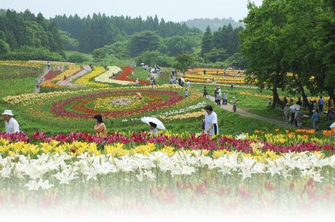 南くりこま高原一迫ゆり園が開園しています!