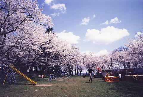平筒沼ふれあい公園桜まつりと佐沼桜まつり