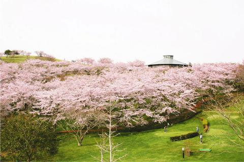 仙台で桜満開が観測! そして、加護坊桜まつり