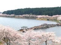 【平筒沼ふれあい公園桜まつり】が開催されます