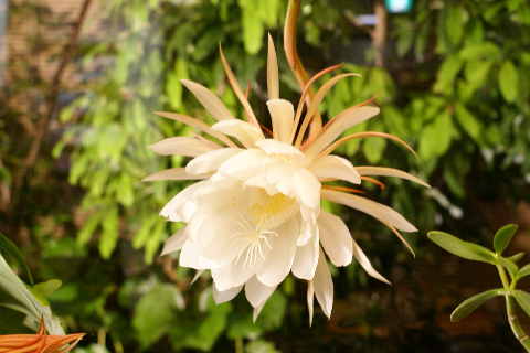 一夜のみの美しい花