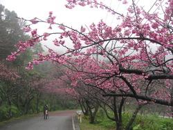 沖縄県の桜まつり