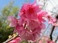 日本一早い桜まつり、本部八重岳桜まつり