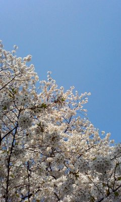 一足お先に、桜をみてきちゃいました★
