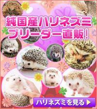ハリネズミ、ハムスター純国産!/宮城で小動物を探しなら