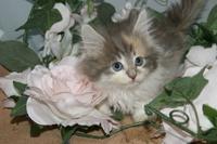 ノルウェイジャンフォレストキャット販売中/宮城県仙台市、塩釜市、松島市、利府町で子猫をお探しなら