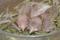 春らしい手乗りシナモン文鳥販売中/宮城県塩釜市、松島町、利府町で小鳥、インコをお探しなら