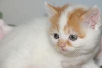 まんまるお顔に垂れ目なスコティッシュフォールド販売中/宮城県白石市、角田市、山元町で子猫をお探しなら