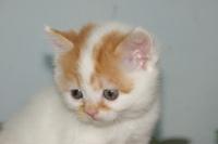 ブリーダー直販スコティッシュ子猫販売中/富谷市、泉区、大和町で子猫をお探しなら