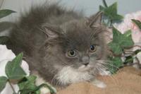 スコティッシュフォールド販売中/東松島市、石巻市、女川町で子猫をロングコートヘアーのスコティッシュフォールドをお探しなら