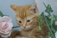 育てやすい猫アメリカンショートヘアー販売中/白石市、大河原町、角田市で子猫をお探しなら