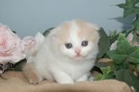 とっても可愛い子猫はブリーダー直販で!/塩釜市、多賀城市、七ヶ浜町でスコティッシュフォールドをお探しなら