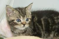 アメリカンショートヘアー子猫なら/岩沼市、亘理町で子猫をお探しなら