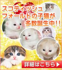 子猫はブリーダー直販で!/塩釜市猫ブリーダー/宮城県