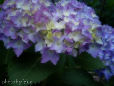 My little garden/紫陽花(2)