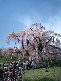 三春の滝桜~