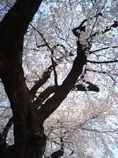 大河原の桜ともち豚。