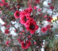御柳梅(ギョリュウバイ)の花