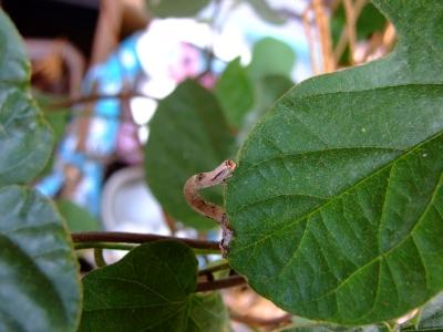 ボイズンベリーに尺取り虫が。