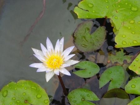 雨の中で開花