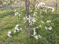 「蔵王はるか」の花が満開です!